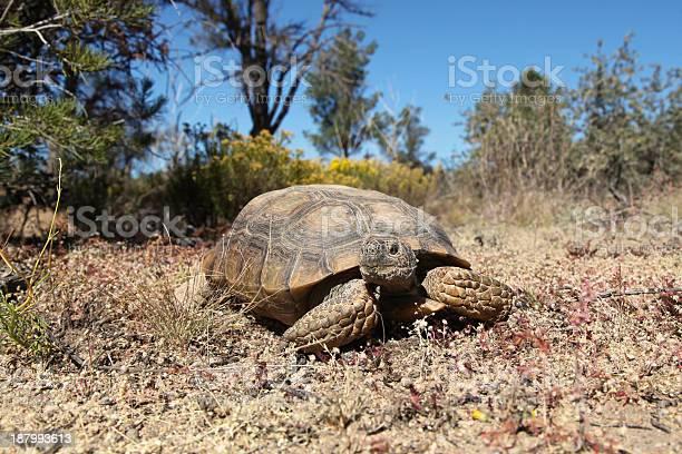 Desert tortoise picture id187993613?b=1&k=6&m=187993613&s=612x612&h=kffgmfe0c8vy9q d0av2jfk u8aemxb68bwbpk022xk=