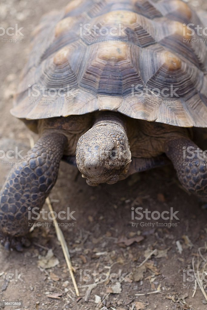 Desert Tortoise royalty-free stock photo