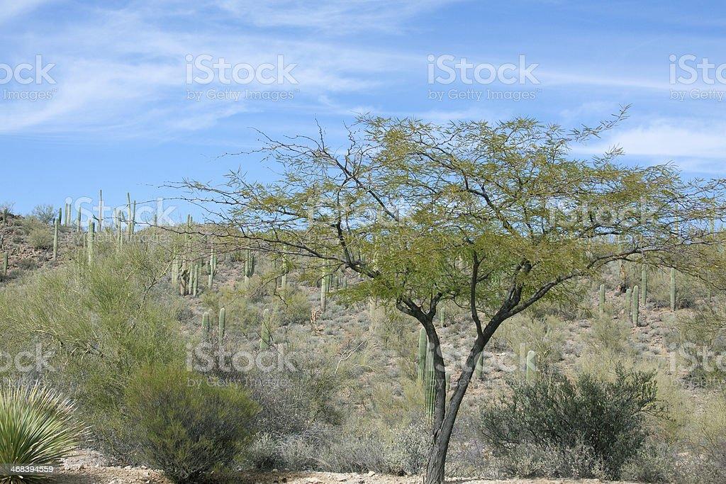 Desert Tree and Sahauros royalty-free stock photo
