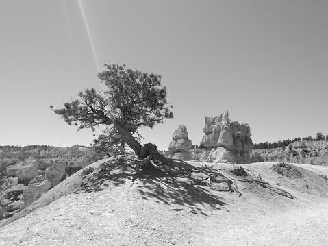 Desert tree at Bryce Canyon