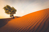 lonely tree on rippled desert sand dunes in the sultanate of oman.