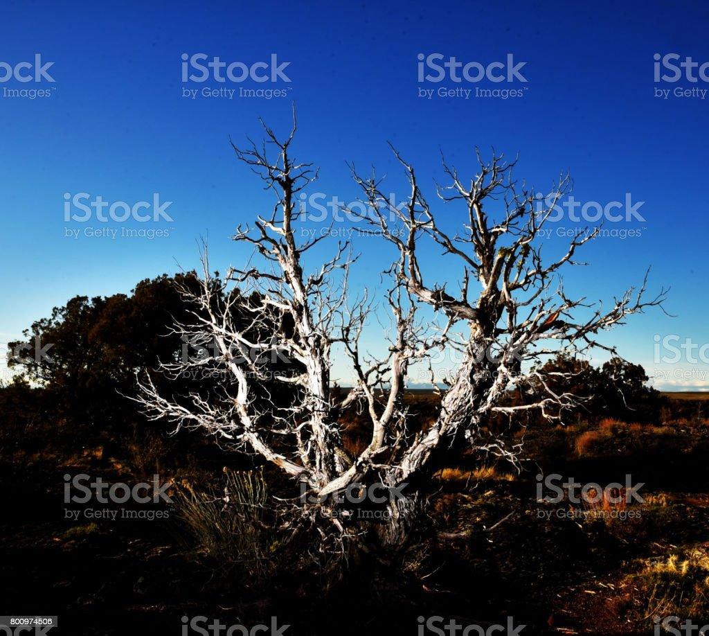 Desert tree knarled. stock photo