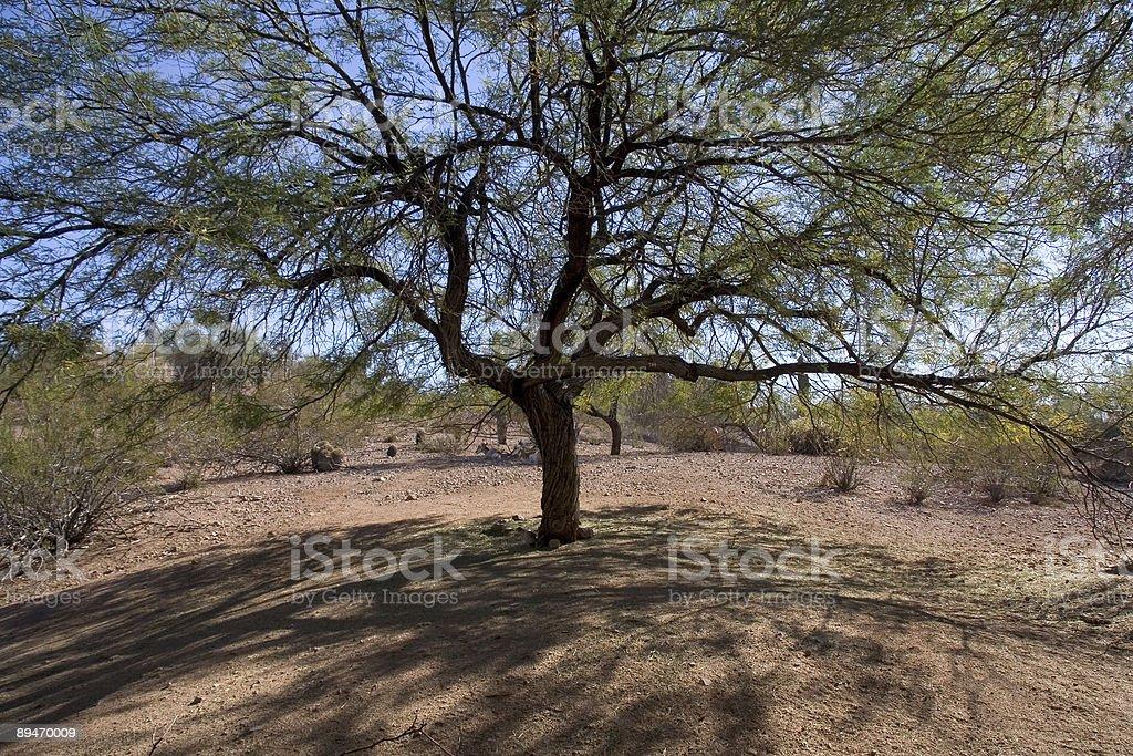desert tree royalty-free stock photo