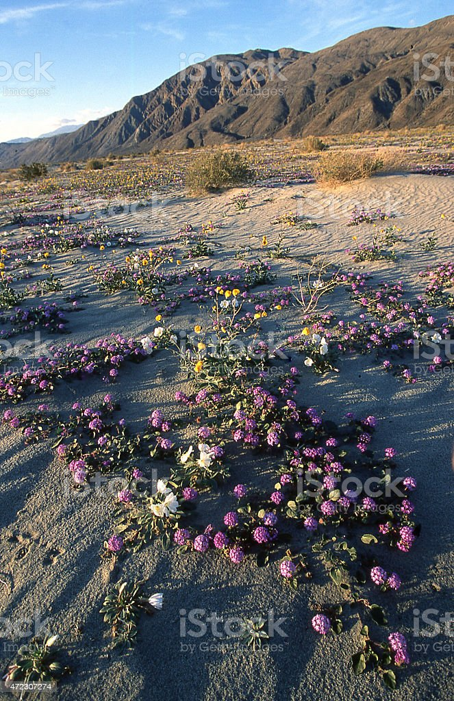 Desert Verbenia Flowers On Dunes Near Palm Springs California Stock