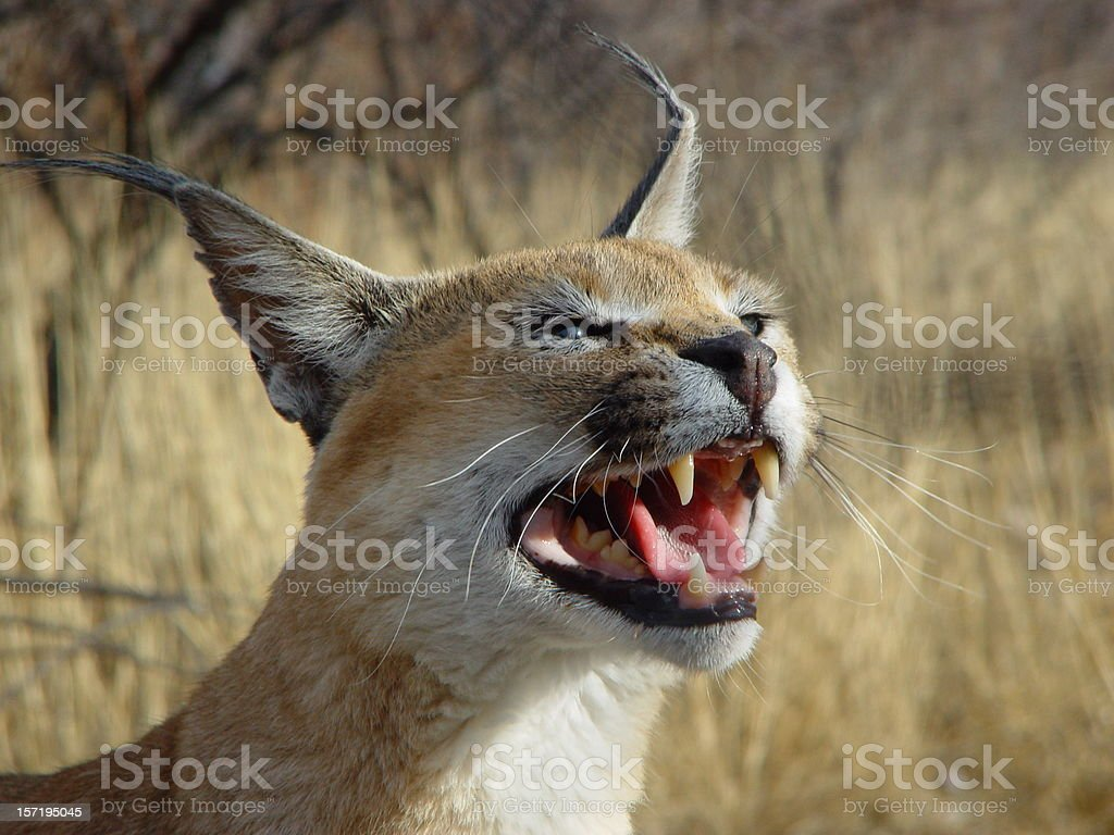 Desert Wild Cat Caracal Namibia Africa stock photo