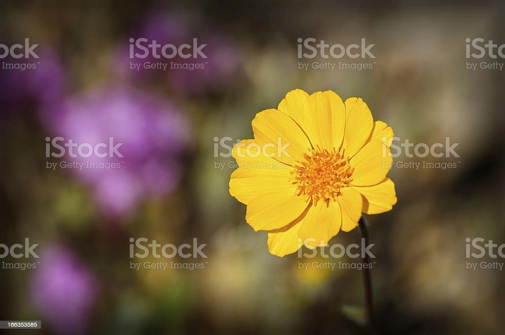 Desert Wildflower royalty-free stock photo