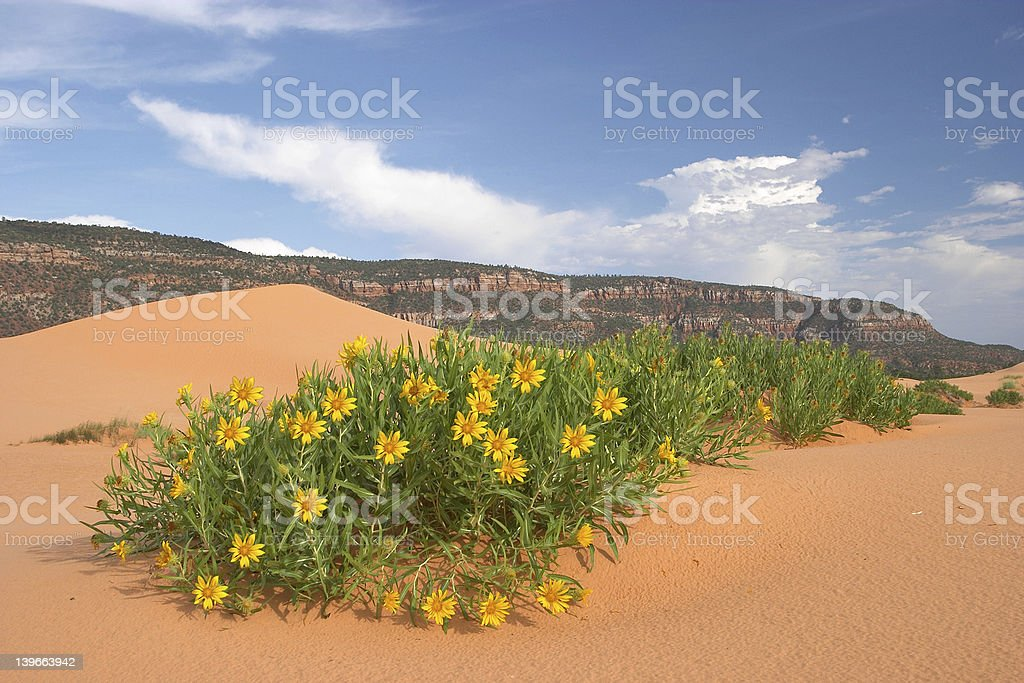 Desert Wildflowers royalty-free stock photo