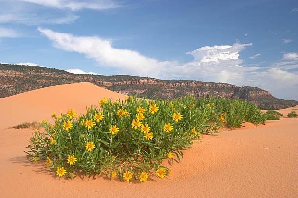 Desert Wildflowers stock photo