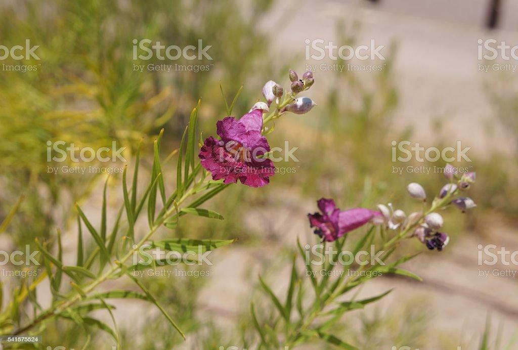 Desert willow blossom stock photo
