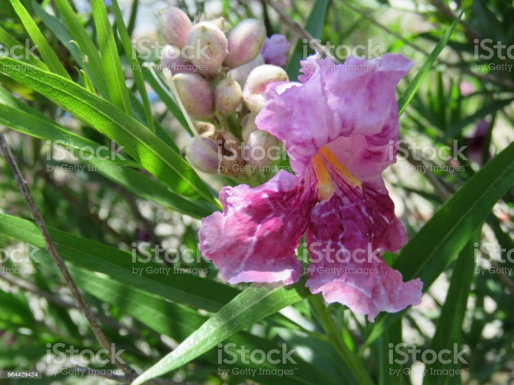 flor do deserto salgueiro - Foto de stock de Beleza natural - Natureza royalty-free
