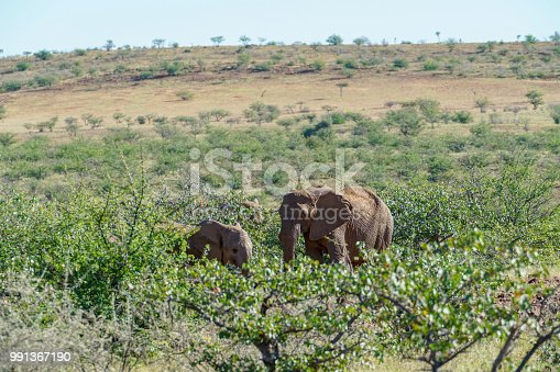 Deserted adapted elephants in bush in Torra Conservancy Namibia.