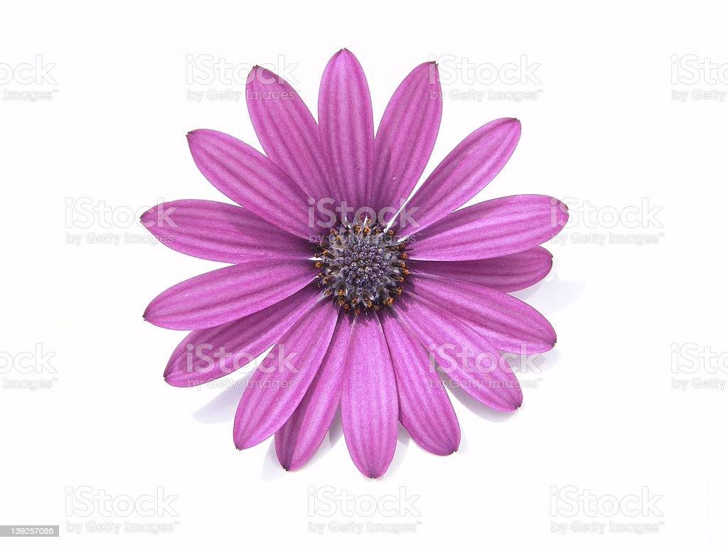 Design Elements: Flower Head royalty-free stock photo