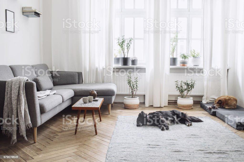 Interior de diseño de sala de estar con pequeña mesa y un sofá. Paredes blancas, plantas en la repisa de la ventana y el piso. Parquet de madera marrón. Los perros duermen en la habitación. foto de stock libre de derechos