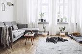 小さな設計テーブルとソファ付きのリビング ルームのインテリア デザイン。白い壁、窓辺や床の植物。茶色の木製の寄せ木張り。犬は、部屋で寝る。