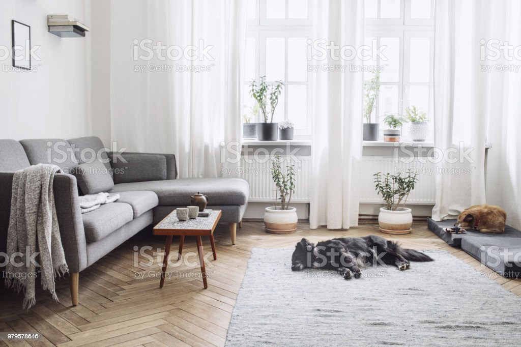Design interior of living room with small design table and sofa. White walls, plants on the windowsill and floor. Brown wooden parquet. The dogs sleep in the room. stock photo