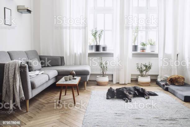 Design Interior Of Living Room With Small Design Table And Sofa White Walls Plants On The Windowsill And Floor Brown Wooden Parquet The Dogs Sleep In The Room Stock Photo - Download Image Now