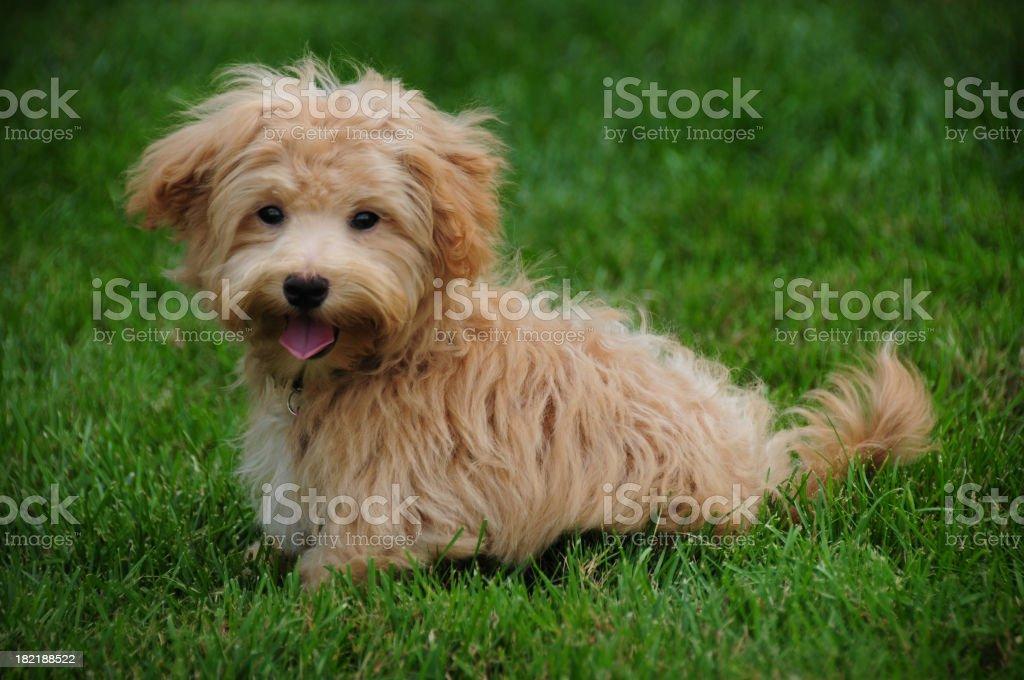 Designer Dog- Maltipoo royalty-free stock photo
