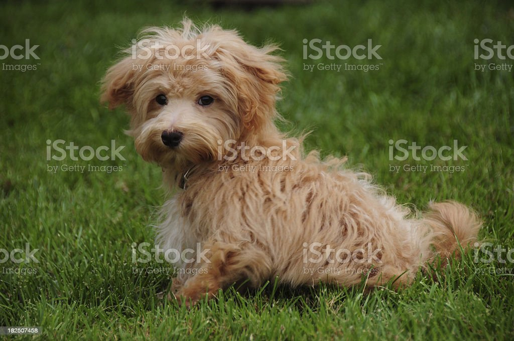 Designer Dog royalty-free stock photo