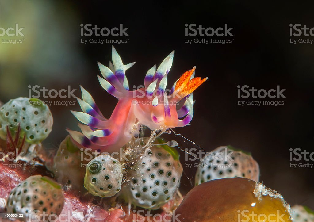 Desirable flabellina nudibranch stock photo