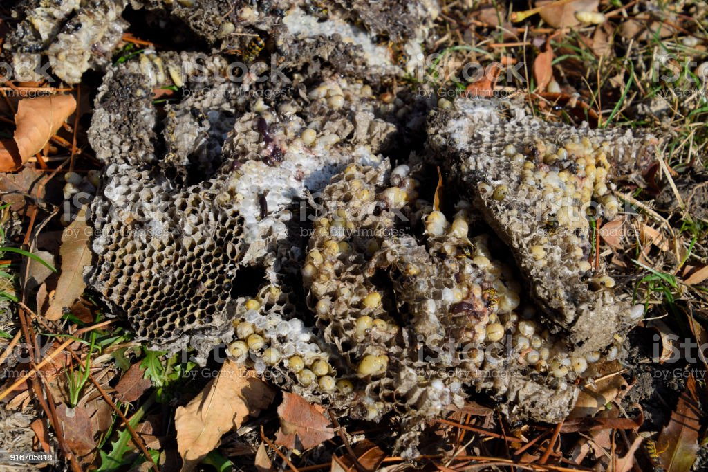 Destroyed hornet's nest. Drawn on the surface of a honeycomb hor stock photo
