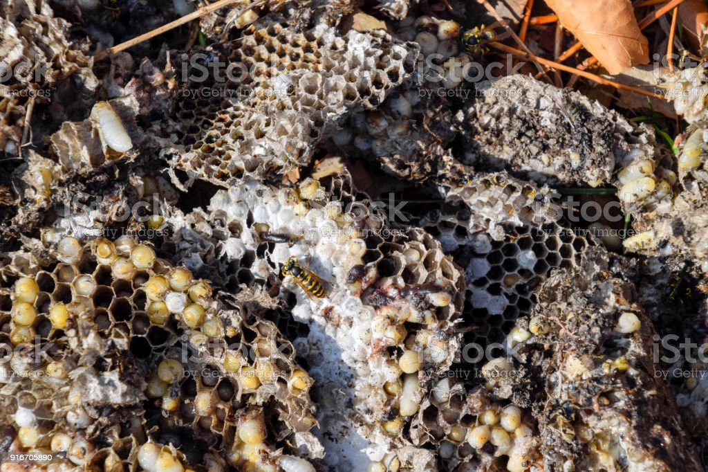 Destroyed hornet's nest. Drawn on the surface of a honeycomb hornet's nest. Larvae and pupae of wasps. Vespula vulgaris stock photo