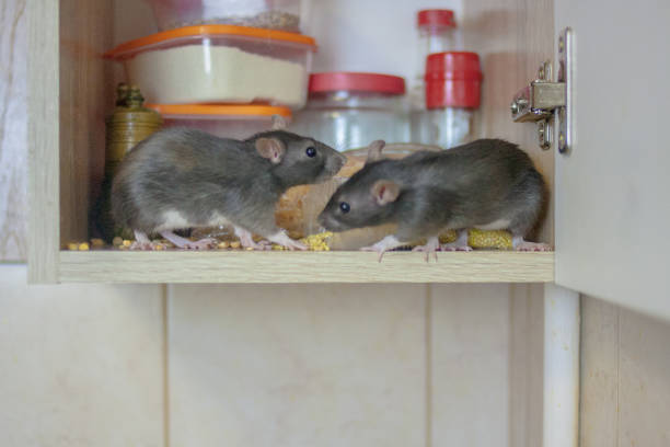 destruction of food stocks. mice are black two pieces. symbol destruction of food stocks. mice are black two pieces. symbol of the 2020 Chinese calendar. rat pests rodent stock pictures, royalty-free photos & images