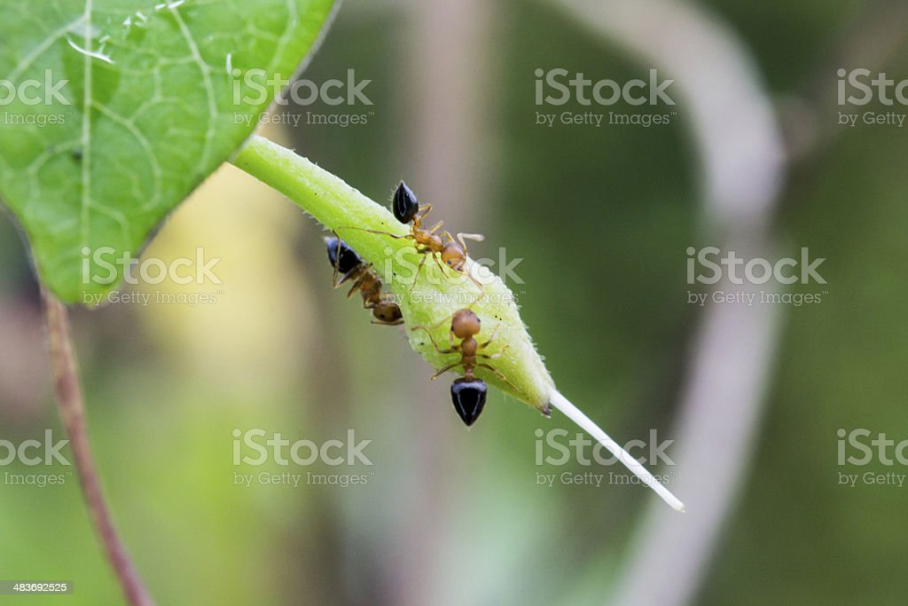 Destructive Trailing Ants Stock Photo - Download Image Now