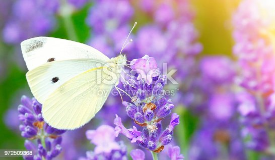 Pieris brassicae butterfly sucking nectar on levander flowers