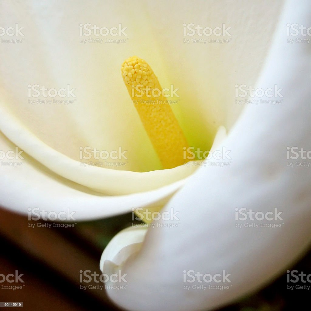 Detail Calla Lily royalty-free stock photo