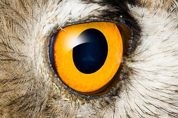 Detail eye of eagle owl picture id155072615?b=1&k=6&m=155072615&s=612x612&w=0&h=sfrnhpfiq v1lzlsc7i6bklx2vfzgcmcyknulkotsbc=