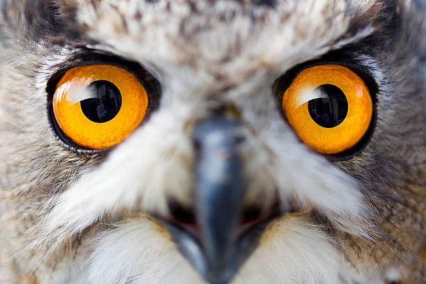 Detail eyes of eagle owl stock photo