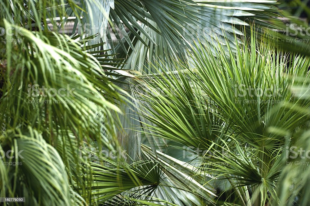 Detail from Fan Palm leaves royalty-free stock photo