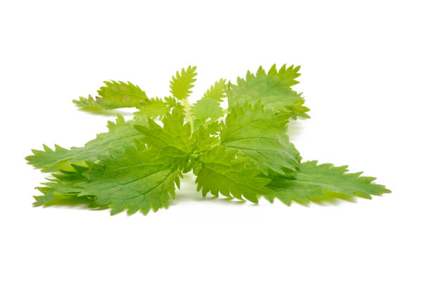Detail nettle leaves Detail nettle leaves formic acid stock pictures, royalty-free photos & images