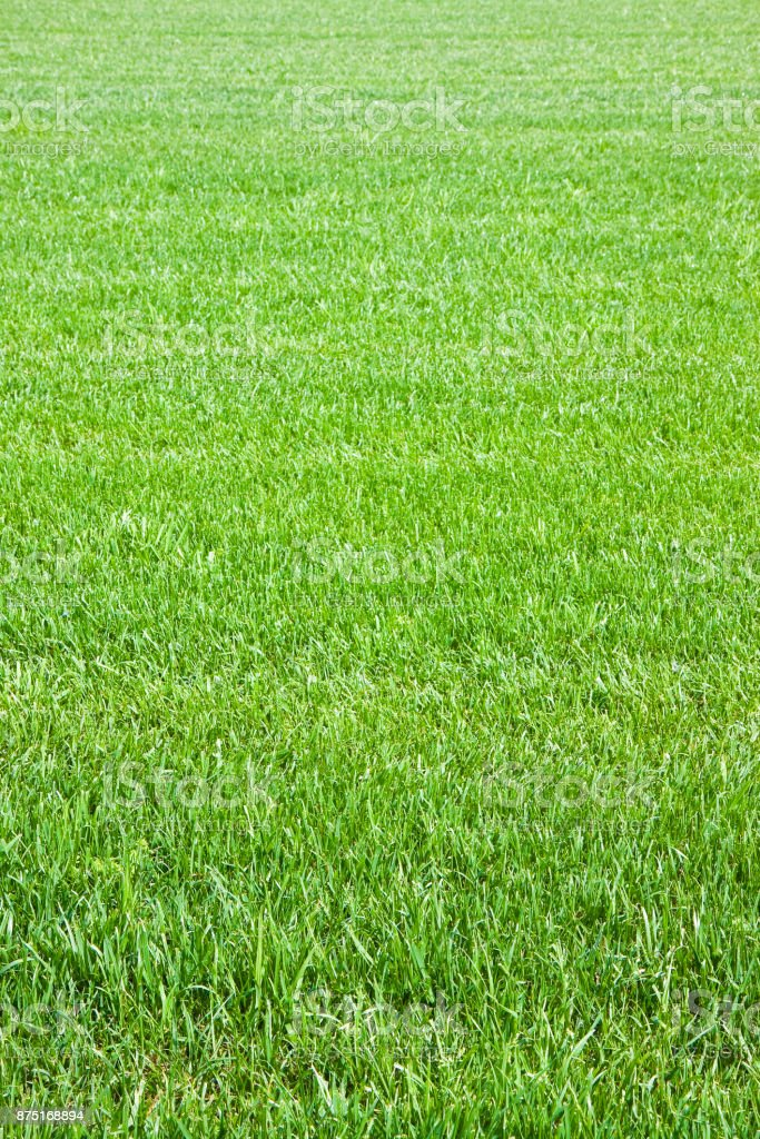 Detail of a beautiful field of cultivated fresh grass stock photo