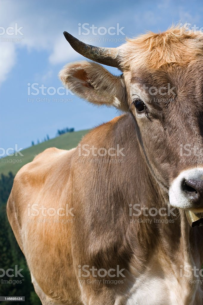 Detail of a brown Cow royalty-free stock photo