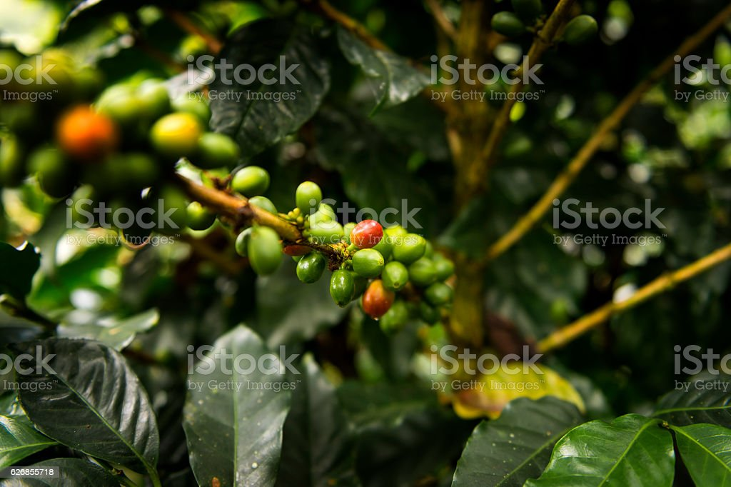 Detail of a coffee plant in Salento, Colombia stock photo