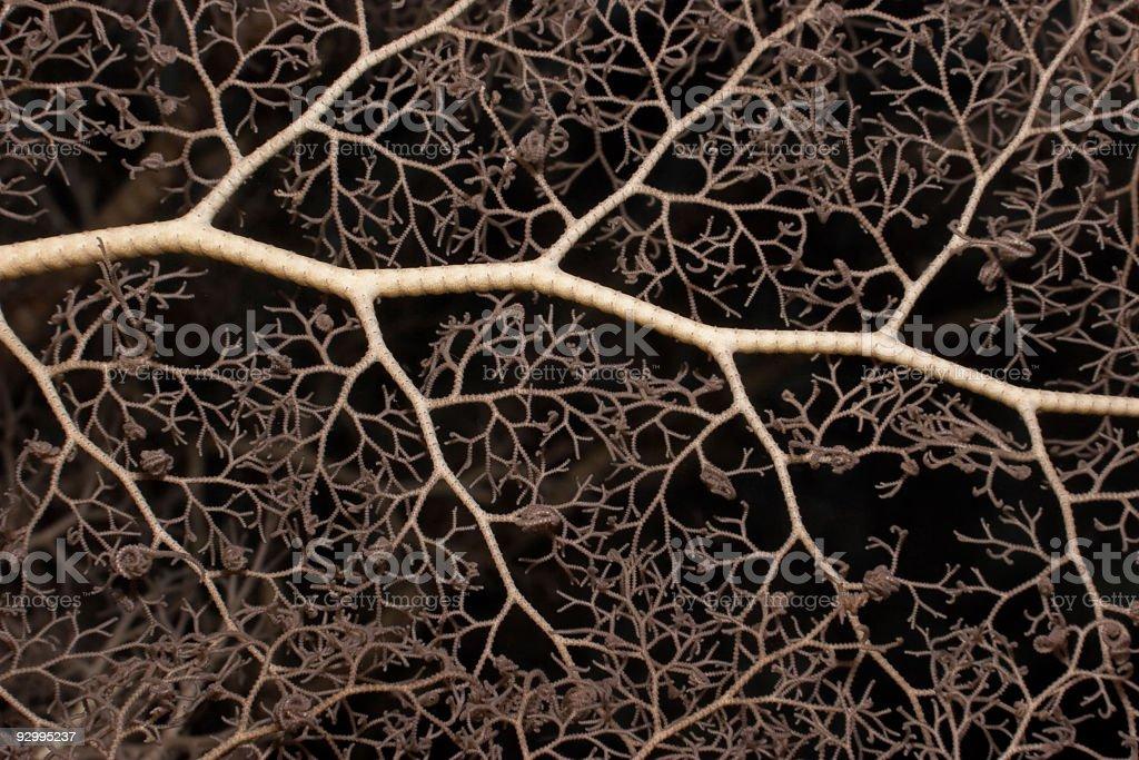 Detail of a Common Basket Star Gorgonocephalus eucnemis stock photo