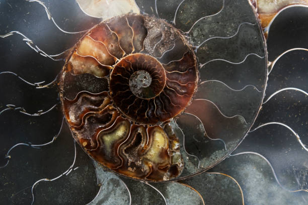 Detail of a fossilized ammonite from the Sahara desert in Morocco. stock photo