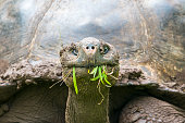 Detail of a Giant tortoise in El Chato Tortoise Reserve, Galapagos islands (Ecuador)