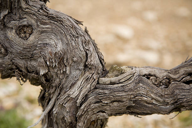 Detail of a grapevine. stock photo