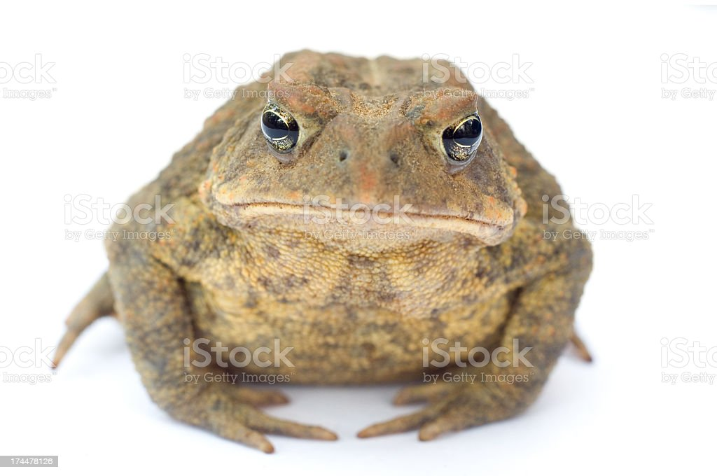 Detail of a Grumpy Mature American Toad on a White Background royalty-free stock photo