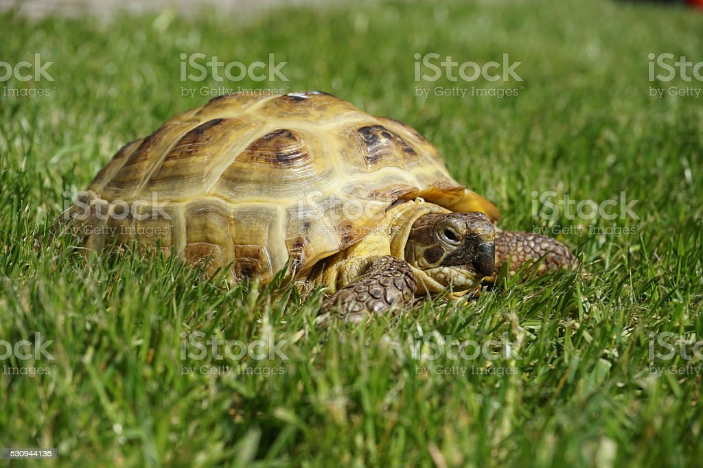 Detail of a little tortoise crawling in the green grass stock photo