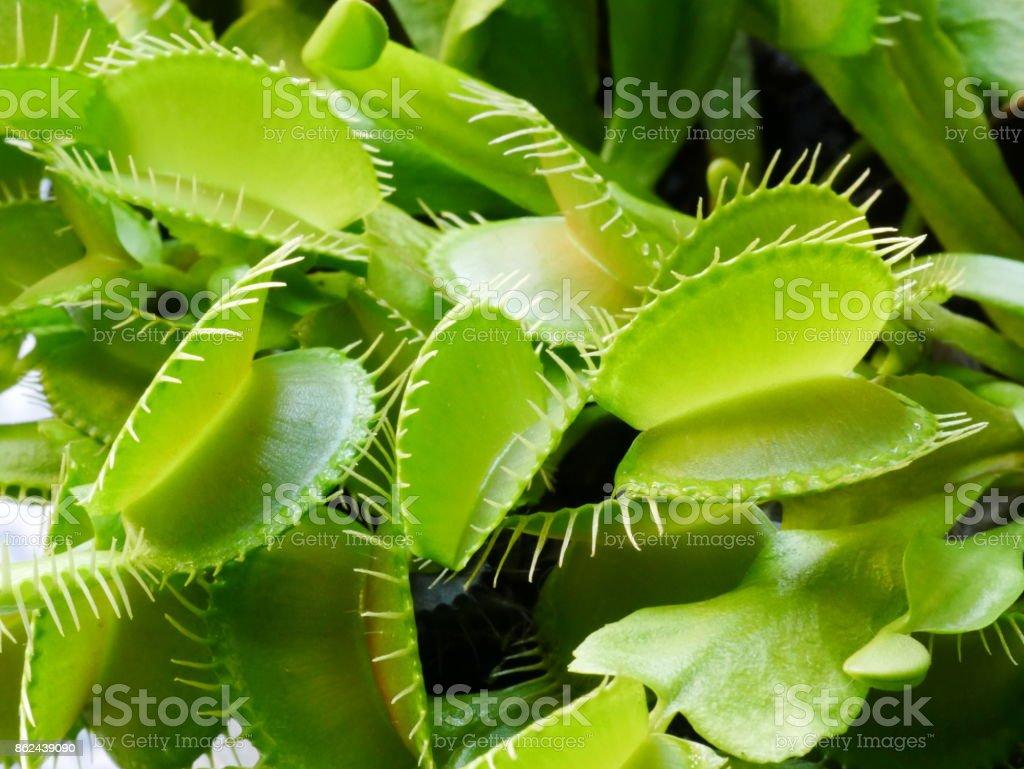 Detail of a plant Dionaea muscipula. stock photo