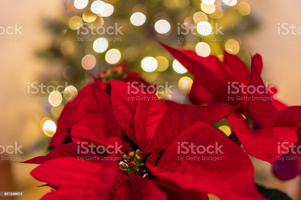 Detail of a poinsettia with Christmas tree in background stock photo