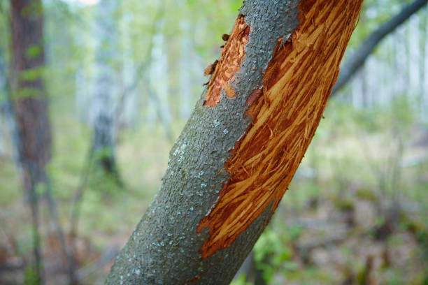 Detail of a willow trunk with the bark eaten by deers in the cold long winter stock photo
