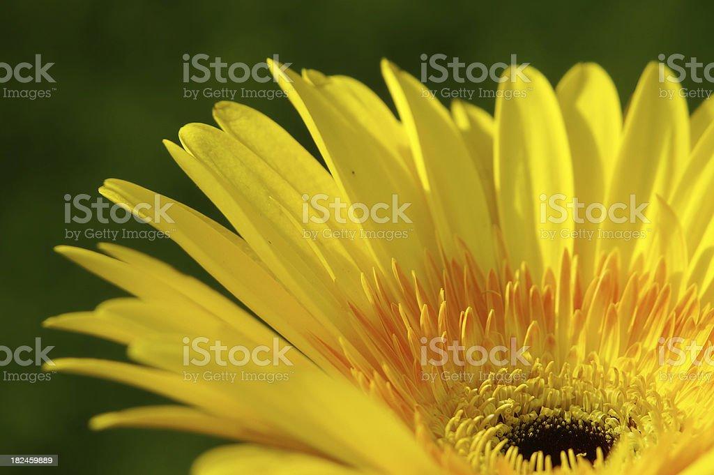 Detalle de una margarita en color amarillo foto de stock libre de derechos