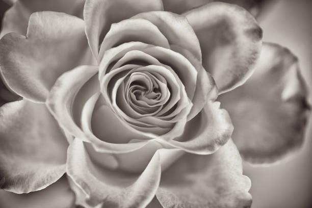 détail d'une fleur rose ouverte en couleur sépia, nostalgie. - filigrane ferronnerie photos et images de collection