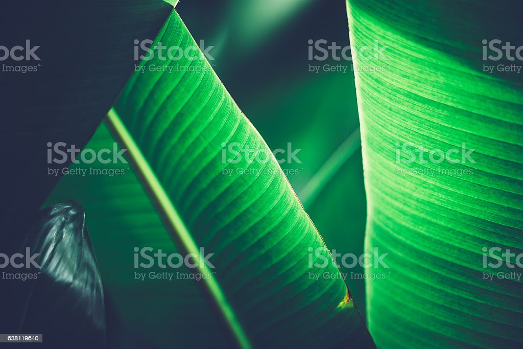 Detail of banana leaf on a sunny day stock photo