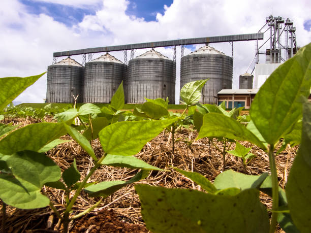 detail of bean plant in field with storage silo background in Brazil stock photo