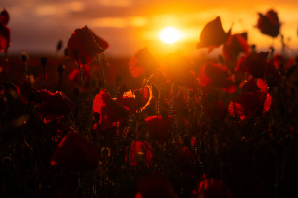 Detail of beautiful bloomed poppies backlit by the setting sun shot outdoors at sunrise or sunset stock photo